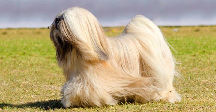 9 raças de cães mais procuradas porladrões