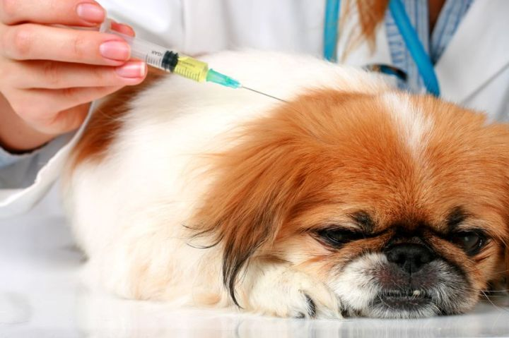 Vacinação em cães: Diferença entre vacina importada enacional.