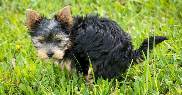 Como ensinar seu cachorro a fazer xixi e coco no lugar certo – Osegredo