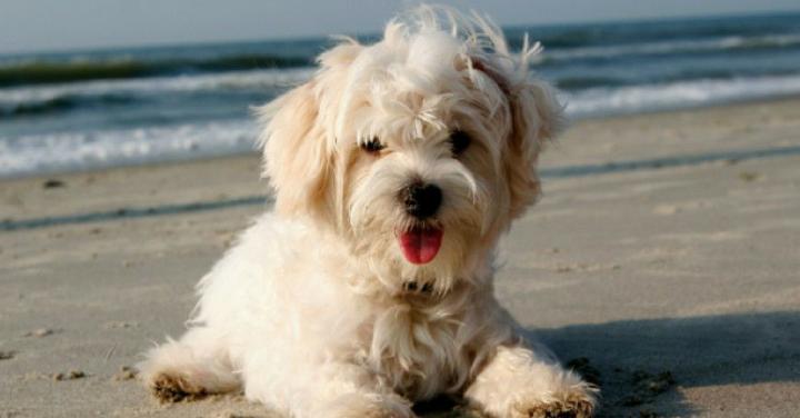 Cães na praia, verme do coração